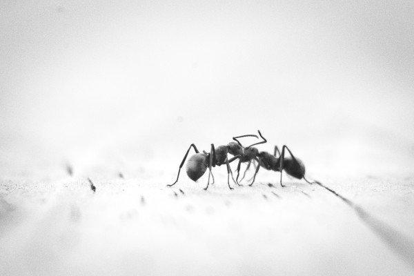 A single ant