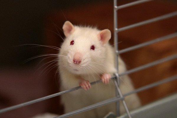 A white rat