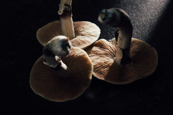 Three psilocybin mushrooms.