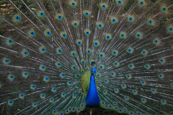 Peacock spreads feathers