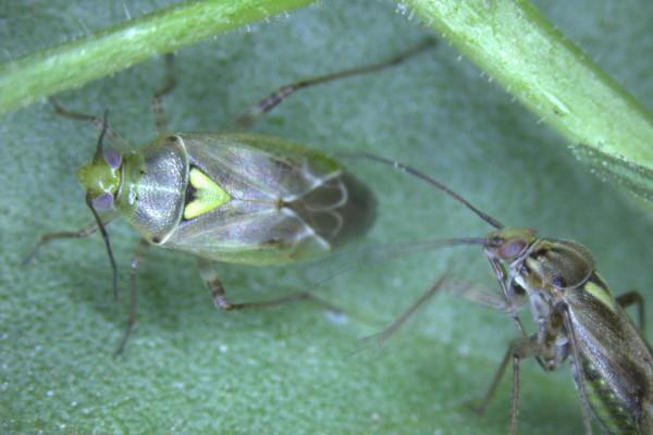 Western tarnished plant bug