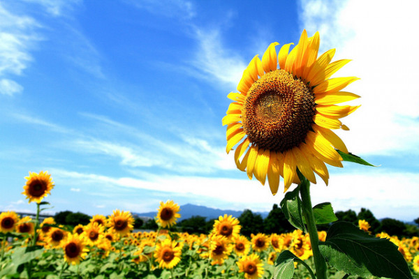 Sunflowers are tracking the sun