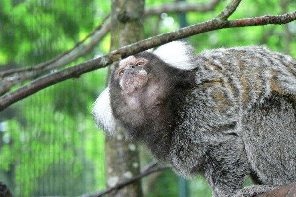 Common marmoset, callithrix jacchus