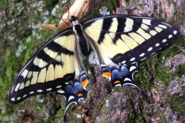 Female swallowtail butterfly