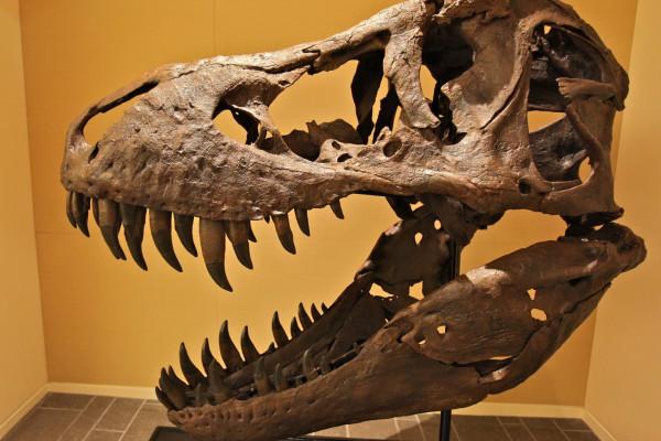 A Male T-Rex Skull