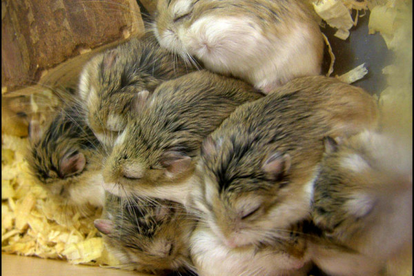 Sleeping hamsters piled up
