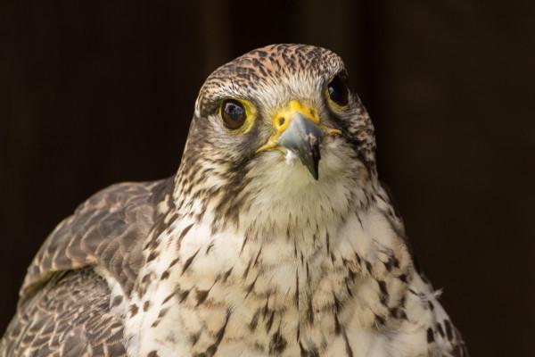 Falcon - Bird of Prey