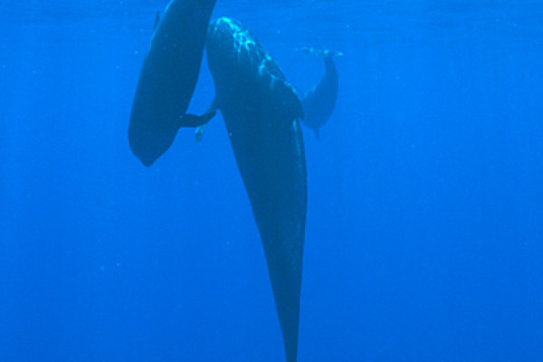 Pilot Whales, mother and calf, Kona, Hawaii.