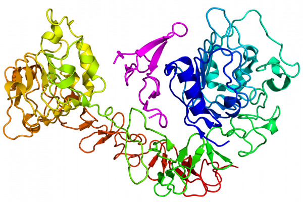 Cartoon diagram of the epidermal growth factor receptor (EGFR) (rainbow colored, N-terminus = blue, C-terminus = red) complexed its ligand epidermal growth factor (magenta) based on the PDB 1NQL crystallographic coordinates.