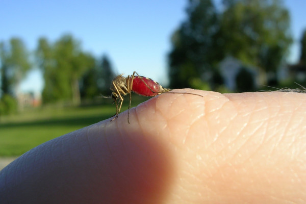 Fed Mosquito