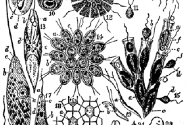 An image of flagellate diversity from the 12th Encyclopaedia Britannica