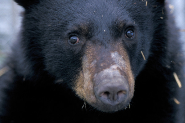 A young male American black bear after emergence from hibernation. The bear is part of the hibernation research conducted by Øivind Tøien, research scientist with the Institute of Arctic Biology at the University of Alaska Fairbanks, and first author...