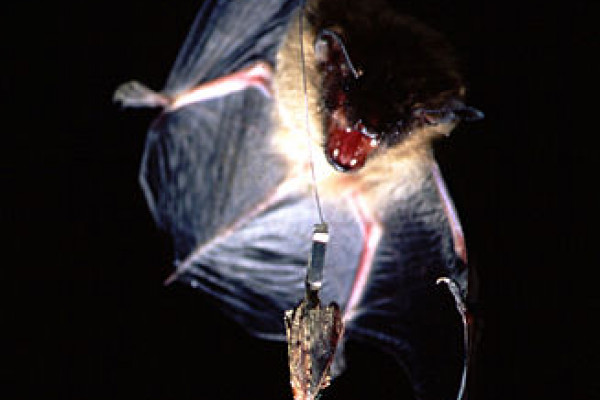 A Big Brown Bat approaches a wax moth.