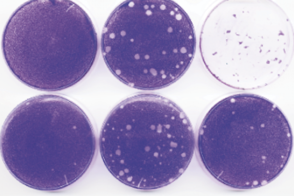 Drug-resistant virus plaques following infections with wild-type Hispaniola strain at increasing MOIs in the presence of guanidine or V-073.