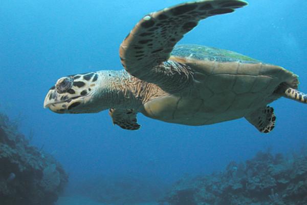Hawksbill Turtle, Saba, Netherlands Antilles. Image taken by Clark Anderson/Aquaimages.