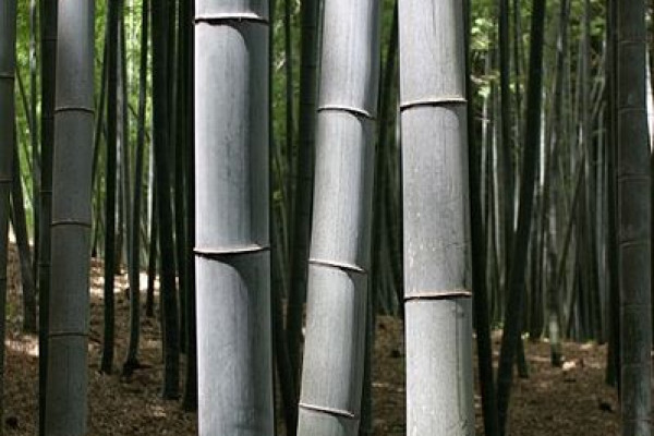 Bamboo trees in Kyoto, Japan.