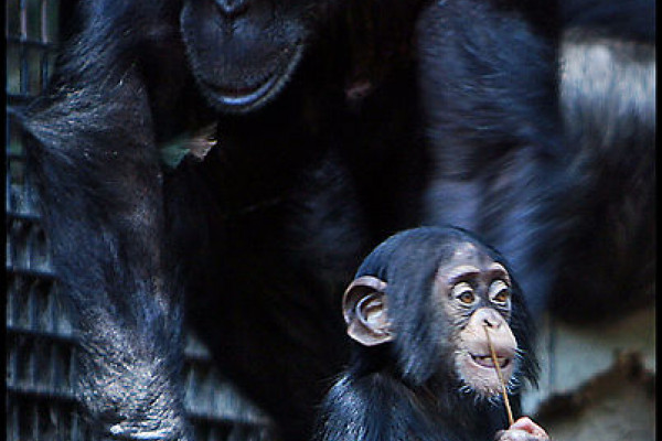 Baby and mother chimpanzee at Baltimore Zoo