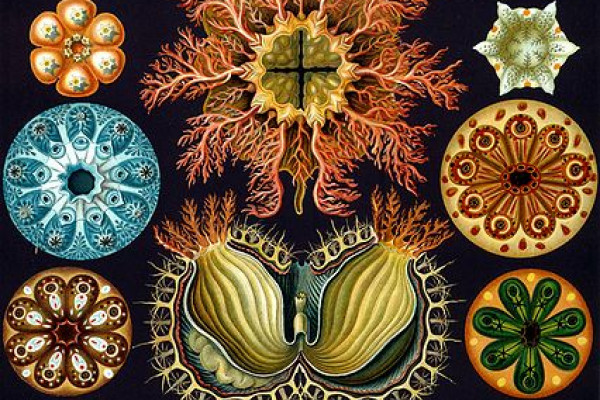 Ernst Haeckel sea squirts