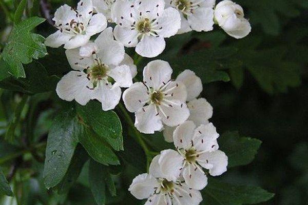 Common Hawthorn flowers.