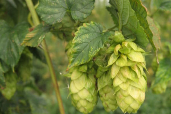 Hops are a key ingredient in beer