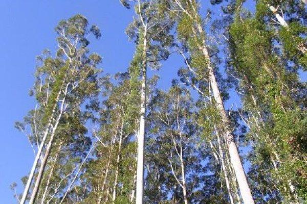 Eucalyptus grandis trees