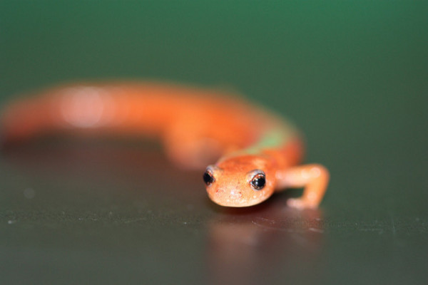 Red-backed Salamander from the tetrapods' species.
