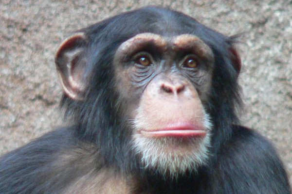 The chimpanzee - mankinds closest primate relative.