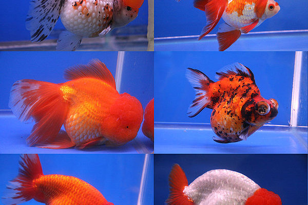 Six different breeds of goldfish shown in the competition at the 20th Pramong Nomklao fish show event at the Future Park Rangsit, Thailand, in July 2008. The fish in the image are, clockwise from top right, ryukin, telescope eye, lionchu, bubble eye,...