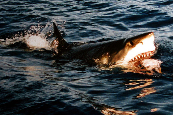A great white shark at Isla Guadalupe, Mexico.