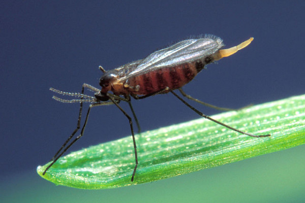 Hessian fly, Mayetiola destructor, barley midge. A significant pest of cereal crops including wheat, barley and rye. Though a native of Asia it was transported into Europe and later into North America in the straw bedding of Hessian troops.