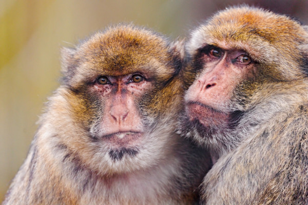 Macaques hugging