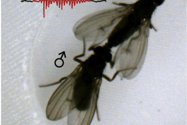 Acoustic duetting in Drosophila virilis relies on the integration of auditory and tactile signals