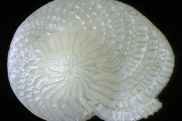 Foraminifera Heterostegina depressa, Indonesia