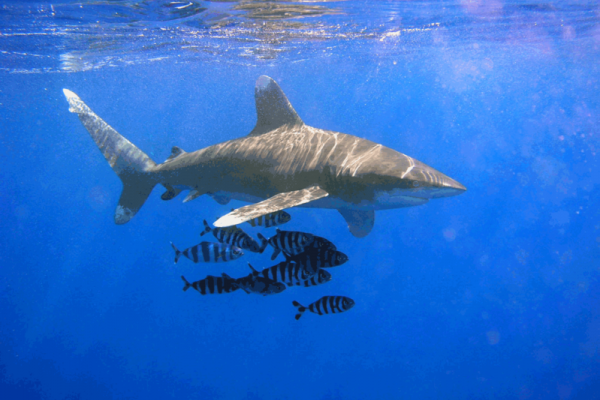 An image of the Oceanic Whitetip Shark (Carcharhinus longimanus) and Naucrates ductor.