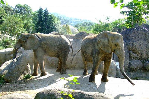 African elephants in Africa Animal Area of Taipei Zoo.