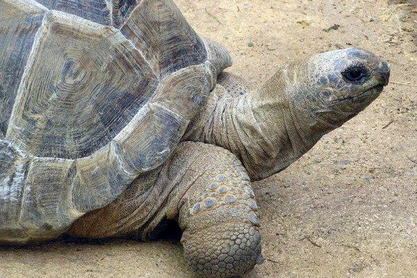 Aldabra Giant Tortoise, Geochelone gigantea, at Bristol Zoo, England.