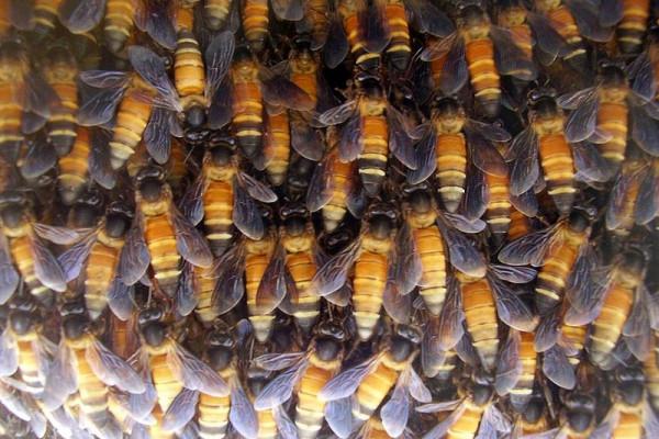A hive of Apis dorsata (giant honey bees)