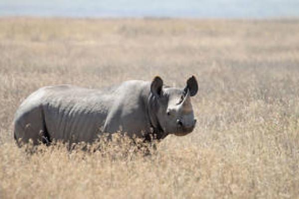 Black Rhinoceros (Diceros bicornis), picture taken at Ngorongoro Conservation Area, Tanzania