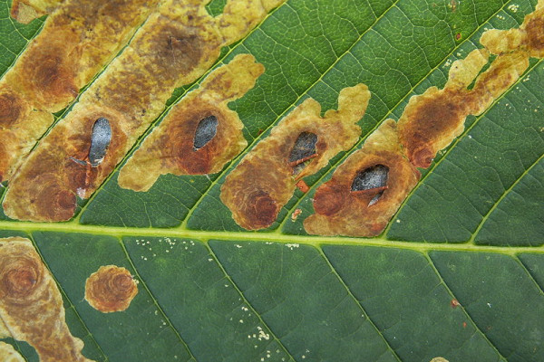 Leaf damage caused by the horse-chestnut leaf miner (Cameraria ohridella)
