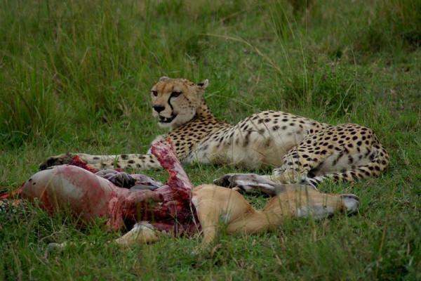 Cheetah (Acinonyx jubatus) with Impala (Aepyceros melampus) that it had recently killed, Masai Mara National Park, Kenya.