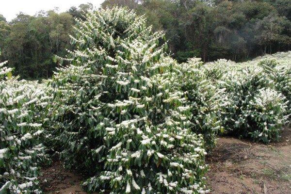 Coffee Arabica bushes in Brazil