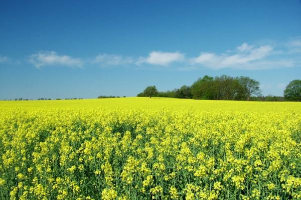 Figure 1: Fuel of the Future? A field of Oilseed Rape