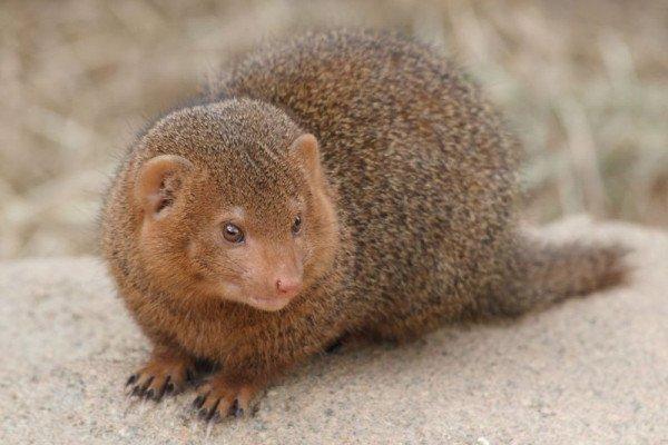 Dwarf mongoose (Helogale parvula) in Korkeasaari zoo