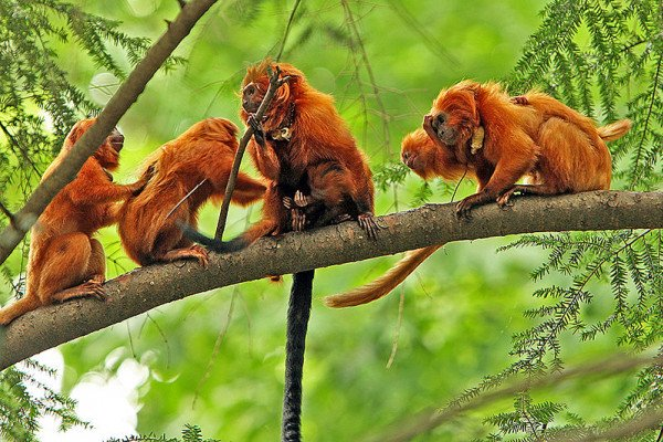 A family of Golden Lion Tamarins