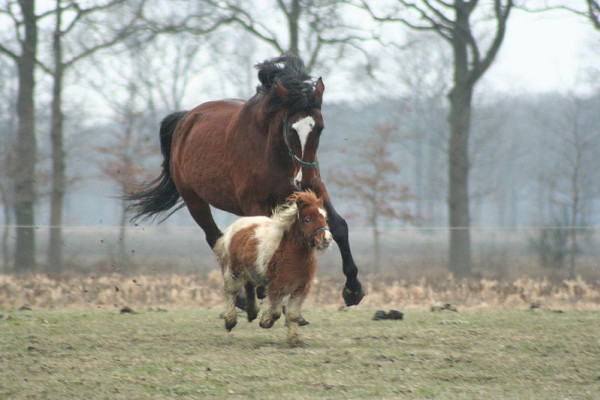 Large and miniature domestic horses