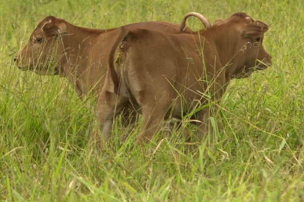 Two clones of the Brazilian Junqueira cow created by Embrapa