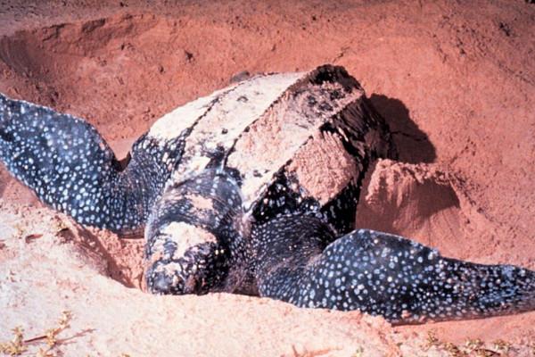 Adult Dermochelys coriacea, Leatherback Sea Turtle