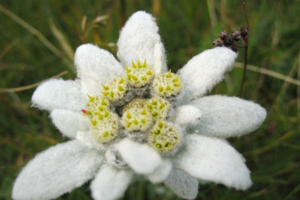 Leontopodium alpinum or edelweiss in the eastern Alps, on the Raxalpe, a mountain in Lower Austria, approx. 1600 m above sea level.