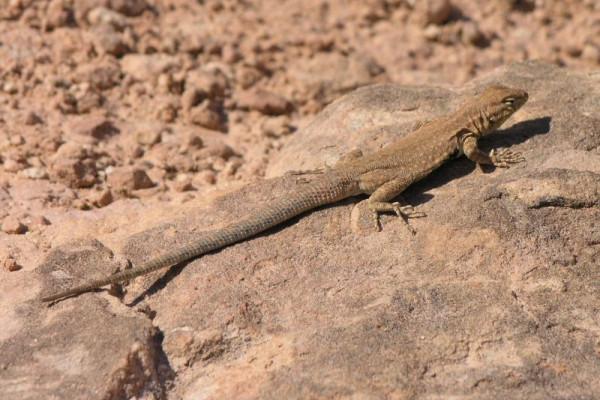 A Lizard Sunning itself on a rock