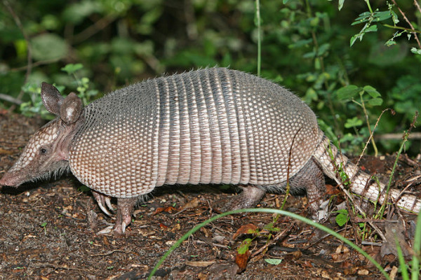 A Nine-banded Armadillo in the Green Swamp, central Florida.
